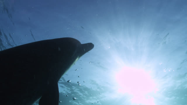 sun shines down onto atlantic spotted dolphin, bahamas - spotted dolphin stock videos & royalty-free footage