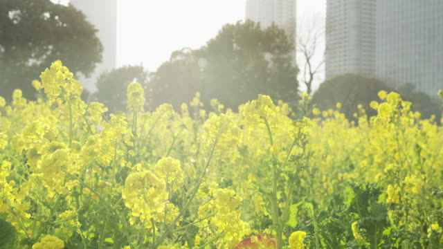 sun shines over yellow flowers in tokyo, close up - 春点の映像素材/bロール