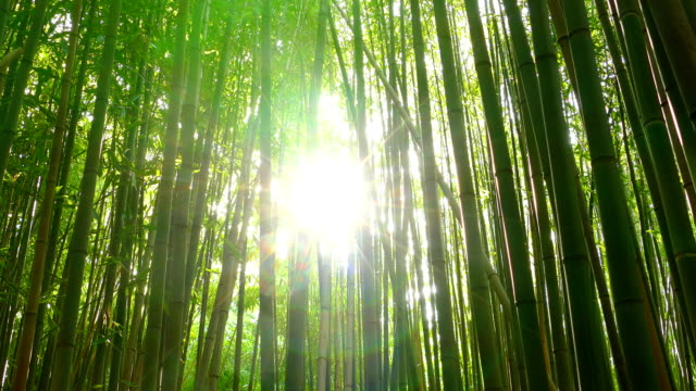 sun shines through a thicket of bamboo forest