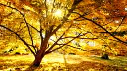 Sun shines through a tree, golden scenery in autumn