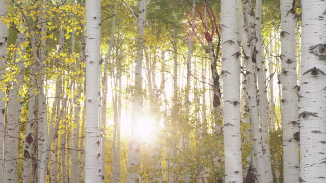 Sun shines through birch tree forest, scenic