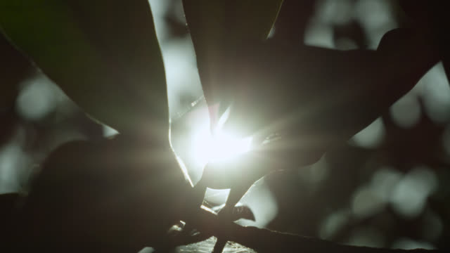 Sun shines through leaves of mangrove tree, Darwin, Australia
