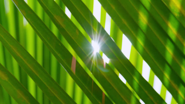 vídeos de stock e filmes b-roll de sun shines through palm fronds - palmeira