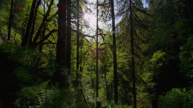MEDIUM SHOT sun shines through tall trees in lush green forest