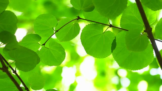 緑の葉の枝を通して太陽が輝く - 枝点の映像素材/bロール