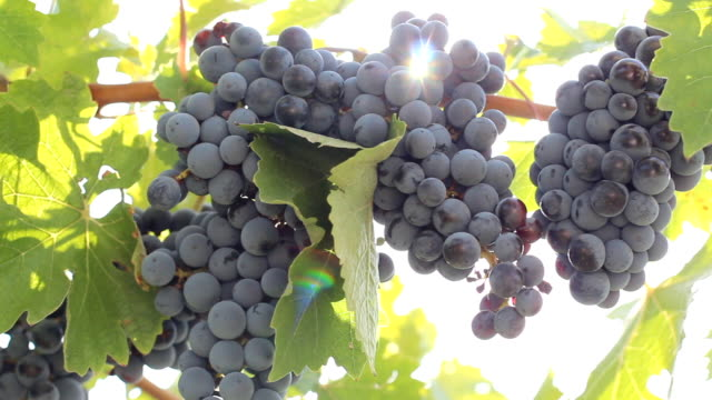 sun shines through the grapes - grape leaf stock videos and b-roll footage