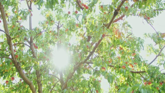 Sun shining behind peach tree,slow motion