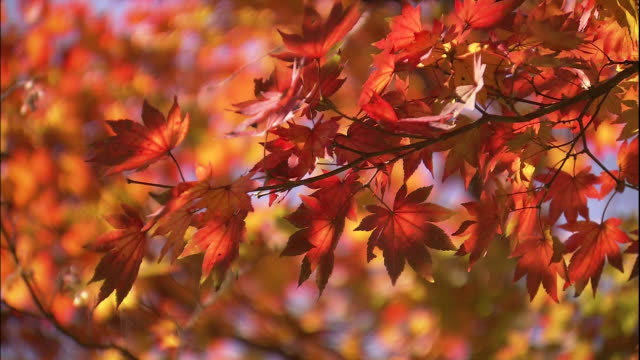 Sun shining on brilliant warm red of maple tree leaves swaying in the breeze