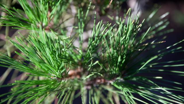 sun shining on pine tree bristle - とげ点の映像素材/bロール