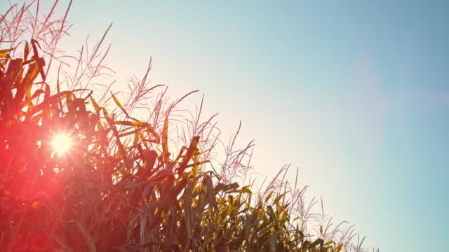SLO MO Sun shining over corn stalks