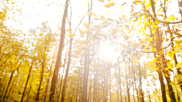 vídeos de stock e filmes b-roll de ms super slow motion sun shining over golden yellow autumn leaves on forest trees - setembro