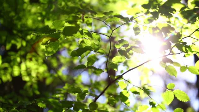 vídeos de stock, filmes e b-roll de cu pan sun shining through beech tree - faia árvore de folha caduca