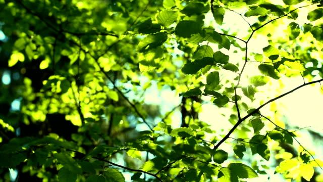 Sun Shining Through Beech Trees Tracking Shot