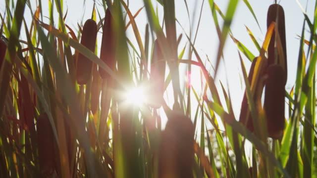 cu sun shining through cattail / cedar hills, utah, usa - bulrush stock videos & royalty-free footage