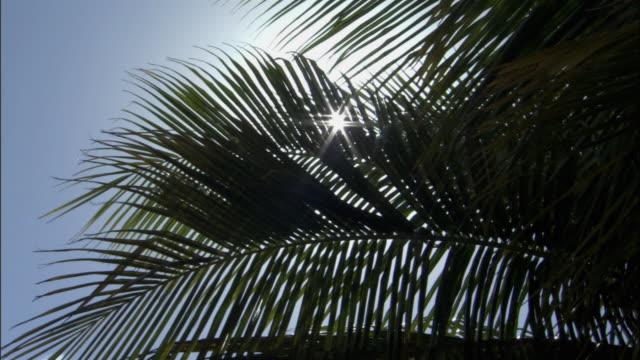 vidéos et rushes de cu sun shining through coconut palm (cocos nucifera) fronds / takapoto atoll, tuamotu, french polynesia - feuille de palmier