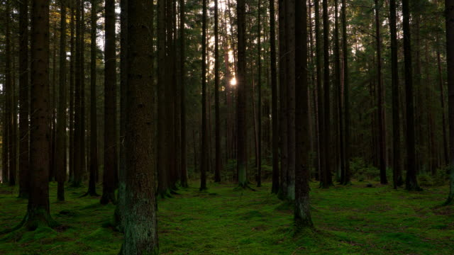 sun shining through coniferous forest - spruce stock videos & royalty-free footage