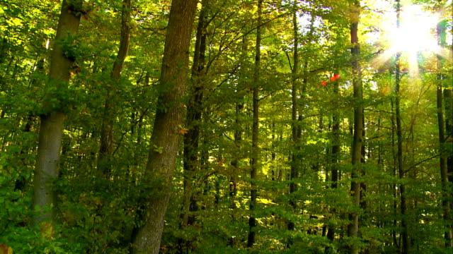 POV Sonne durch Grünwald Kamerafahrt