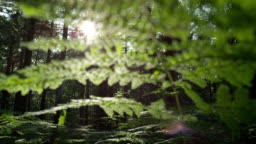 SLOW MOTION: Sun shining through green leaves of young fern
