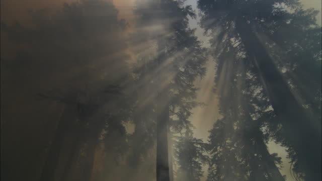 ms la sun shining through ponderosa pines covered with smoke from forest fires / kernville, california, usa - california stock videos & royalty-free footage
