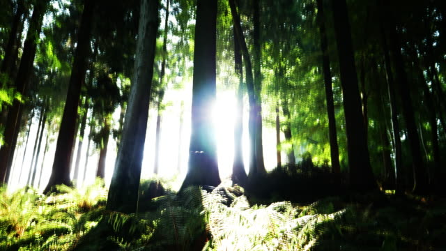 cs sun shining through redwood trees in a forest - sequoia sempervirens stock videos and b-roll footage