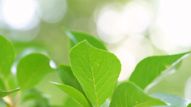 sonne scheint durch die kirschbaumblätter - obstbaum stock-videos und b-roll-filmmaterial