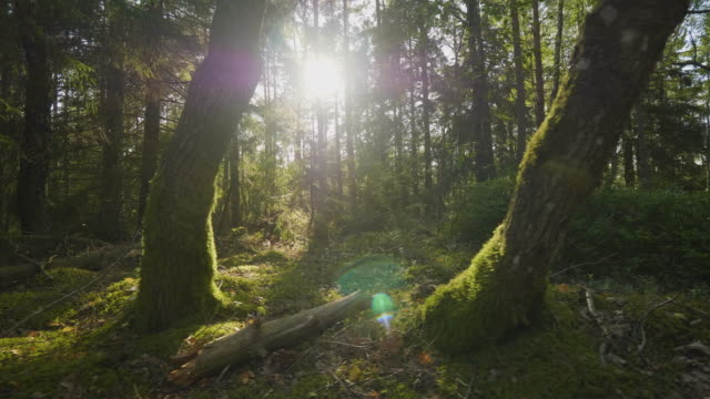 sun shining through the trees in the forest - moss stock videos & royalty-free footage