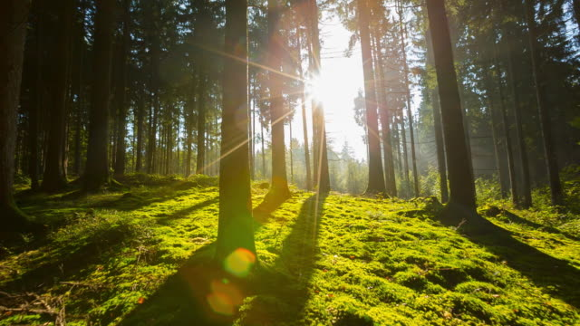 sun shining through trees in forest, steadycam - zona arborea video stock e b–roll