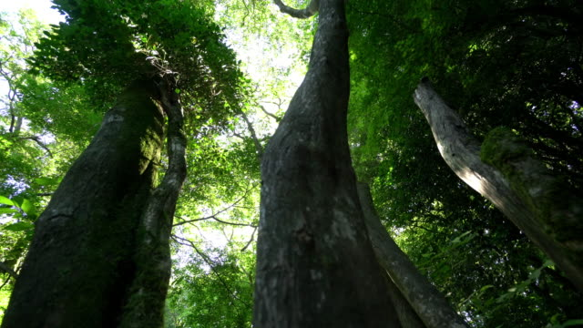 sun shining through trees in 'gotjawal' forest / jeju-si, jeju-do, south korea - tree canopy stock videos & royalty-free footage