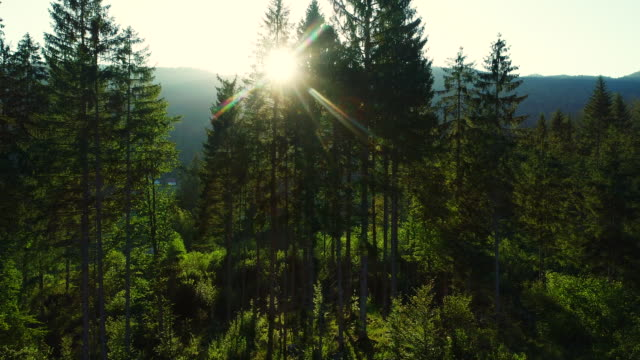sun shining thru the trees in forest - stock video - coniferous stock videos & royalty-free footage