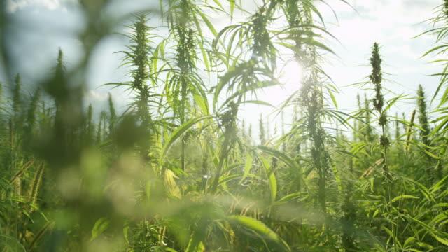 Zeitlupe CLOSEUP Sonne scheint Trog Cannabis Blätter und Knospen Betäubungsmittel auf Feld