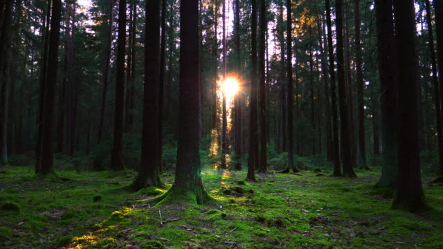 Sun Shining Trough Green Forest Tracking Shot