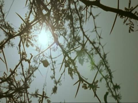 vidéos et rushes de ms sun shot through acacia tree, oman - arbre à feuilles caduques