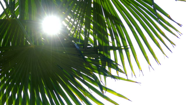 sun through the leaves of a palm tree