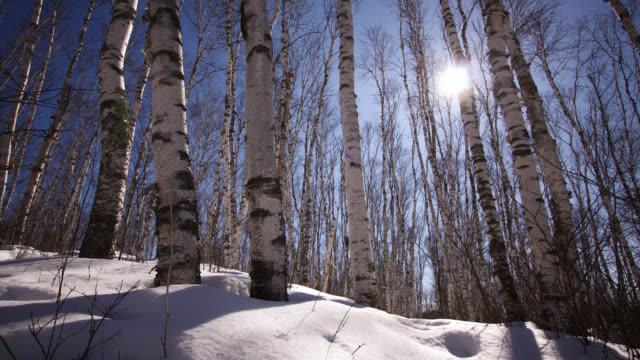 vidéos et rushes de tl sun tracks over trees in snowy forest, minnesota, usa - saison