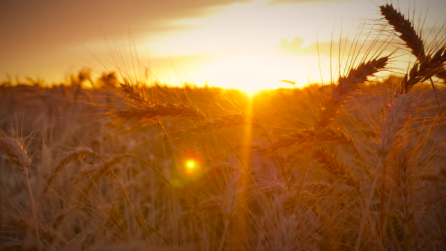 vídeos de stock e filmes b-roll de sun_wheat_4k - kansas