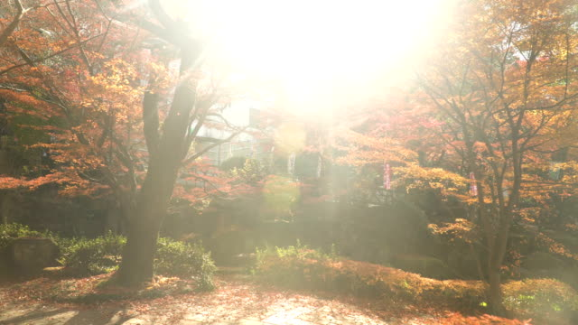 sunbeam on thered maple plants japanese garden - maple stock videos & royalty-free footage