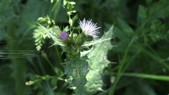 sunbeam shining on a milk thistle with delicate pale lavender flowers in the center of a shady hillside patch of thistles this thisle is considered a... - flower head stock videos & royalty-free footage