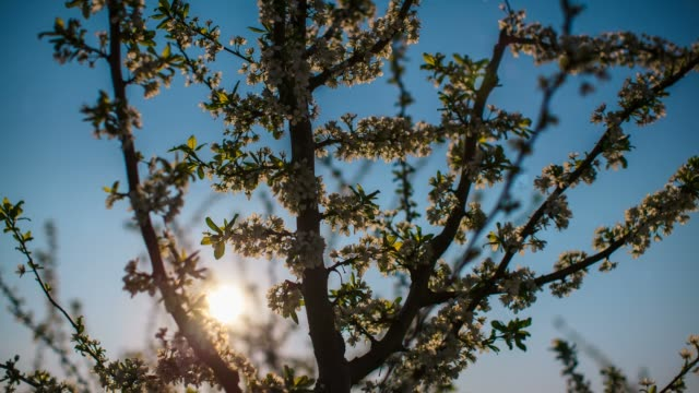 vídeos de stock, filmes e b-roll de sunbeam through a fruit tree, baranja, croatia - árvore de folha caduca