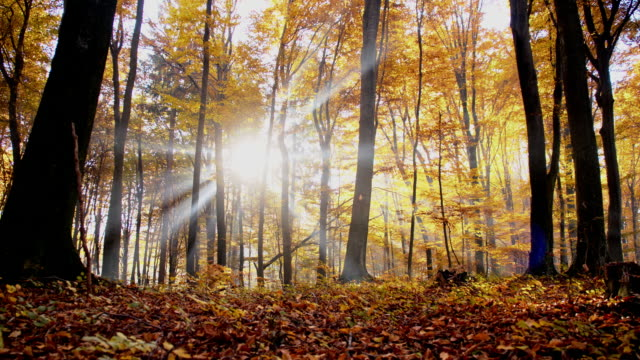 SLO MO Sunbeams behind autumn trees