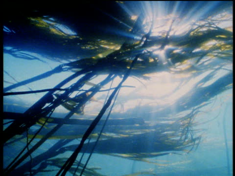 sunbeams pour through sea kelp moving in the ocean currents. - kelp stock-videos und b-roll-filmmaterial