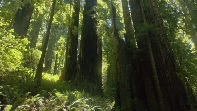 sunbeams shine past redwood trunks and ferns in redwood national park, california. - stamm stock-videos und b-roll-filmmaterial
