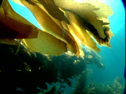 vidéos et rushes de sunbeams shine through leaves of orange seaweed. - algues
