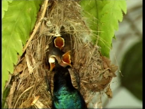 cu sunbird feeding chicks in nest, israel - 食べさせる点の映像素材/bロール