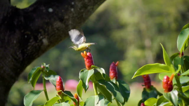 Sunbird Female Feeding Herself Slomo.