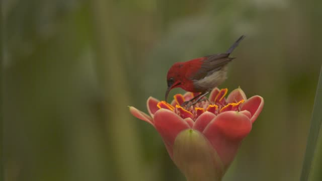 A sunbird harvests honey in the Red Ginger Flower, Venezuela