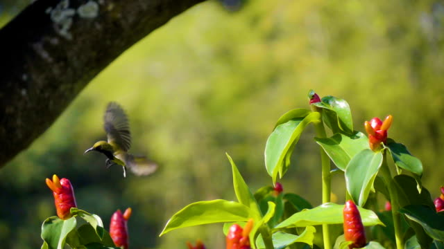 Sunbird Male Jump From a Flower to Another One.