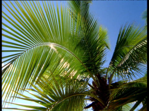 Sunburst through feathery fronds of coconut palm, Maldives