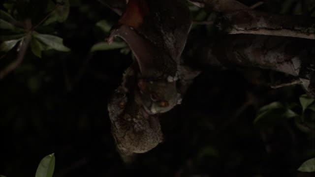 sunda colugo (galeopterus variegatus) and infant in tree, sarawak, borneo - サラワク州点の映像素材/bロール