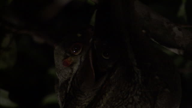 Sunda colugo (Galeopterus variegatus) and infant in tree, Sarawak, Borneo