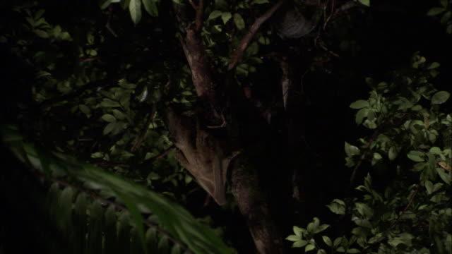 sunda colugo (galeopterus variegatus) clambers in tree, sarawak, borneo - サラワク州点の映像素材/bロール